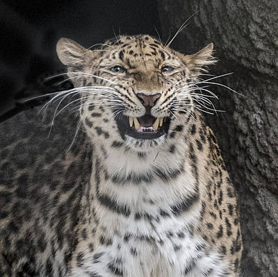 Photograph - Leopard  Portrait Closeup by William Bitman