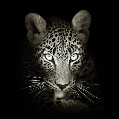 Portraits Royalty-Free and Rights-Managed Images - Leopard portrait in the dark by Johan Swanepoel