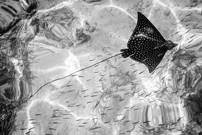 Photograph - Leopard Ray In Belize by Gregory Daley  MPSA