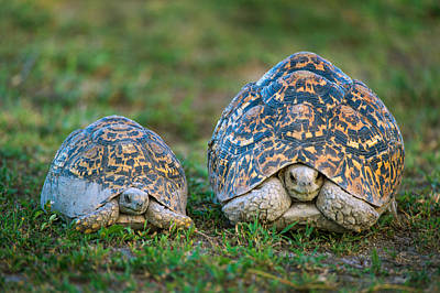 Tortoise Photograph - Leopard Tortoise Stigmochelys Pardalis by Panoramic Images