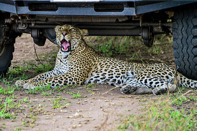 Photograph - Leopard Under A Land Cruiser by Marilyn Burton