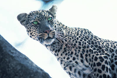 Photograph - Leopard With Green Eyes by Carl Purcell