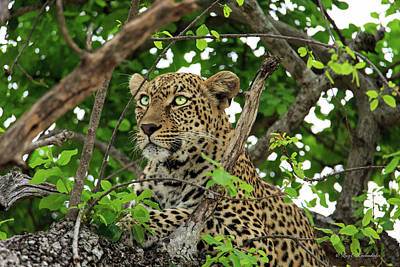 Photograph - Leopard With Piercing Eyes by Kay Kochenderfer
