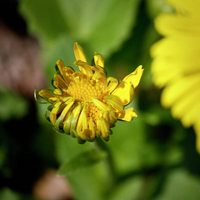Bane Photograph - Leopards Bane Bud Squared by Teresa Mucha