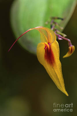 Photograph - Lepanthes Maxonii Orchid Macro by Heiko Koehrer-Wagner