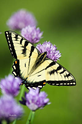 Photograph - Lepidoptera - Eastern Tiger Swallowtail Butterfly by Christina Rollo