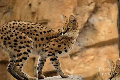 Travel Rights Managed Images - Leptailurus serval of Africa Royalty-Free Image by Sherri Hubby
