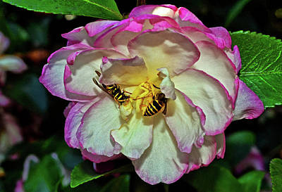 Photograph - Leslie Ann Camellia With Bees 012 by George Bostian
