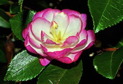 Photograph - Leslie Ann - Sasanqua Camellia 006 by George Bostian