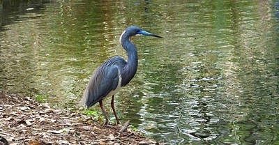Photograph - Lesser Blue Heron In Mating Plumage by Judy Wanamaker