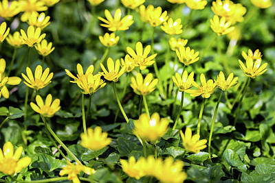 Photograph - Lesser Celandine by Nick Bywater