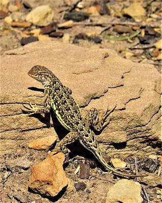 Photograph - Lesser Eared Lizard by Joshua Bales
