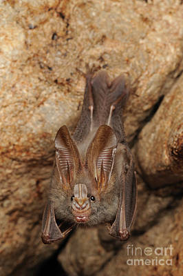 Photograph - Lesser False Vampire Bat Roosting by Chien Lee