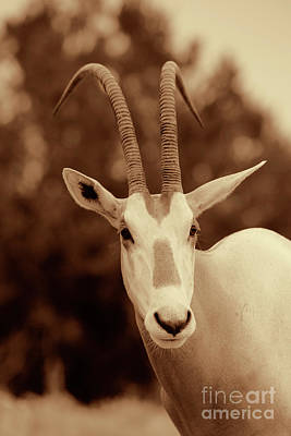 Photograph - Lesser Gemsbok Sepia Portrait by Douglas Barnard