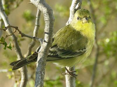 Lesser Goldfinch 1 Art Print