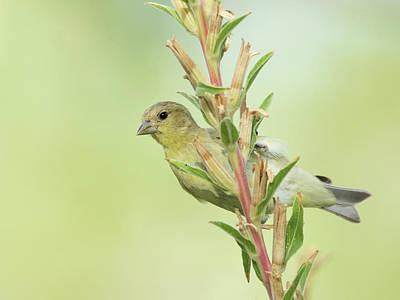 Photograph - Lesser Goldfinch 3980-071117-1cr by Tam Ryan