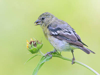 Photograph - Lesser Goldfinch 4040-071117-1cr by Tam Ryan