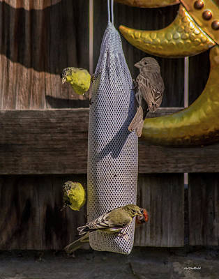 Photograph - Lesser Goldfinch And Friends by Allen Sheffield