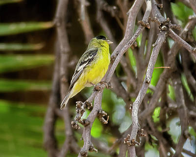 Art Print featuring the photograph Lesser Goldfinch H57 by Mark Myhaver