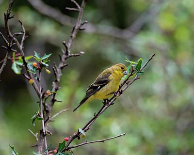 Photograph - Lesser Goldfinch On Agarita Limb by Debra Martz