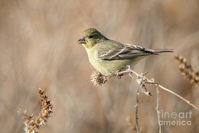 Gaugin Rights Managed Images - Lesser Goldfinch On Flower Stalk Royalty-Free Image by Al Andersen