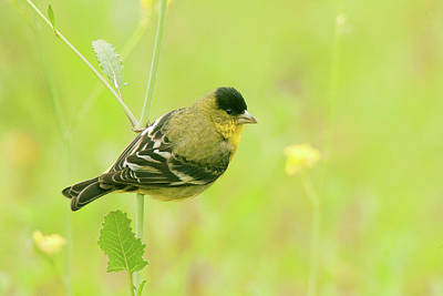 Photograph - Lesser Goldfinch  by Ram Vasudev