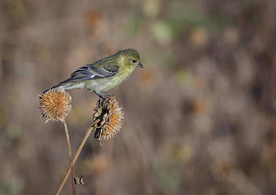 Photograph - Lesser Goldfinch  by Rick Mosher