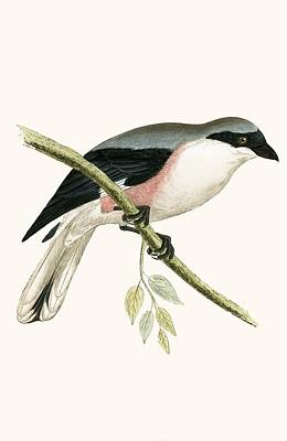 Lesser Painting - Lesser Grey Shrike by English School