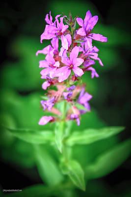 Photograph - Lesser Purple Fringed Orchid by LeeAnn McLaneGoetz McLaneGoetzStudioLLCcom