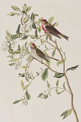 Berry Drawing - Lesser Red-poll by John James Audubon