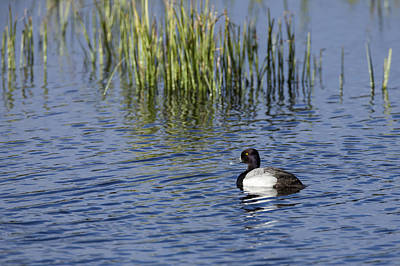 Photograph - Lesser Scaup Adult Male by David Watkins
