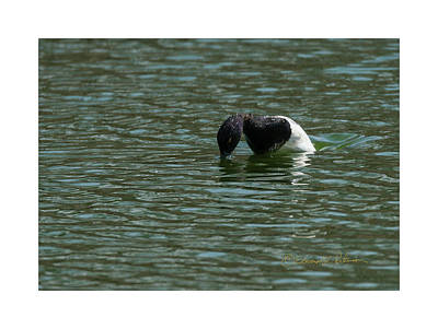 Photograph - Lesser Scaup Diving by Edward Peterson