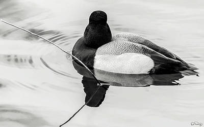 Photograph - Lesser Scaup Duck by Dee Browning
