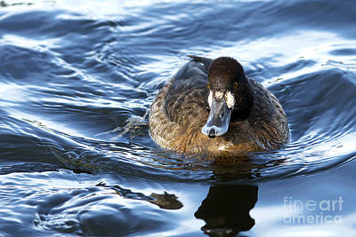 Broadbill Photograph - Lesser Scaup Female by Sharon Talson