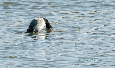 Photograph - Lesser Scaup In A Dive by Edward Peterson