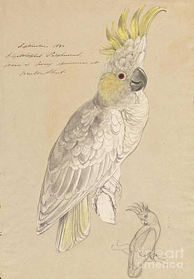 Crest Painting - Lesser Sulphur-crested Cockatoo by Celestial Images