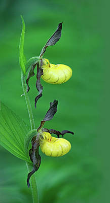 Photograph - Lesser Yellow Lady's Slipper by Jim Zablotny