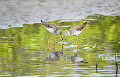 Photograph - Greater Yellowlegs by Fran Gallogly