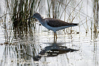 Photograph - Lesser Yellowlegs by Mike Dawson
