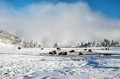 Yellowstone Digital Art - Let Sleeping Bison Lay by Mary Louise Loyd