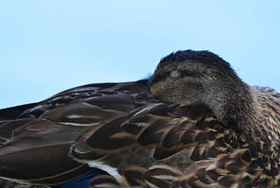 Stratford Photograph - Let Sleeping Ducks Lie by Richard Andrews