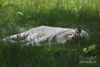 Photograph - Let Sleeping Tigers Lay In Green Grass by DejaVu Designs