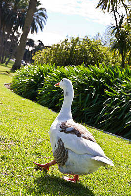 Photograph - Lets Walk Goose Walk by Miroslava Jurcik