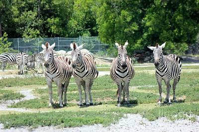 Zebra Photograph - Lets Watch The Parade by Mesa Teresita