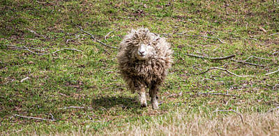 Photograph - Lettie The Leicester Longwool by Susie Weaver