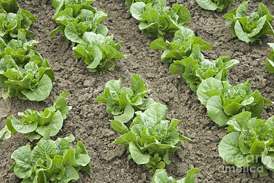 Romaine Photograph - Lettuce Growing by Inga Spence