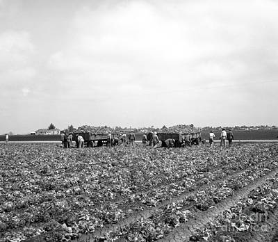 Photograph - Lettuce Harvest, Harvester And Workers In Fields, 1947 by California Views Mr Pat Hathaway Archives