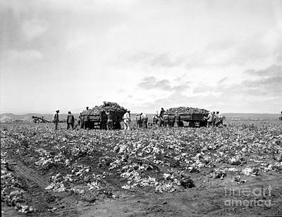 Photograph - Lettuce Harvest, Harvester And Workers Loading On To Trucks In Fields 1947 by California Views Archives Mr Pat Hathaway Archives