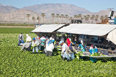 Romaine Lettuce Photograph - Lettuce Harvest by Inga Spence