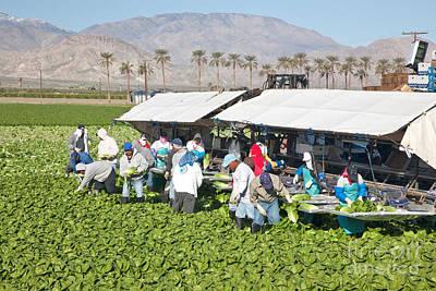 Lettuce Photograph - Lettuce Harvest by Inga Spence